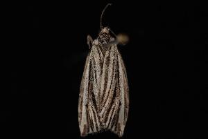 (Archips striatana - 10-JDWBC-0449)  @12 [ ] CreativeCommons - Attribution (2010) Jeremy deWaard University of British Columbia