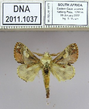 (Odontocheilopteryx - 2011-1037)  @15 [ ] Unspecified (default): All Rights Reserved  2011-1037 Unspecified