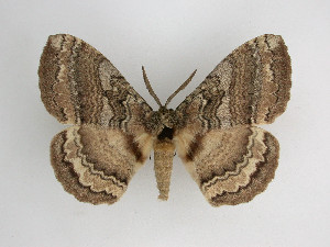 (Eupterotidae - VZ-EUPTER-14)  @15 [ ] Unspecified (default): All Rights Reserved  Unspecified Unspecified