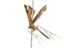 (Paraplatyptilia modestus - 07PROBE-00061)  @13 [ ] CreativeCommons - Attribution Non-Commercial Share-Alike (2010) CBG Photography Group Centre for Biodiversity Genomics