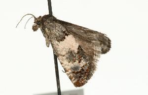 (Eucosma sp. 2 - 07PROBE-10800)  @14 [ ] CreativeCommons - Attribution Non-Commercial Share-Alike (2010) CBG Photography Group Centre for Biodiversity Genomics