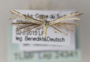 (Merrifieldia semiodactylus - TLMF Lep 24341)  @11 [ ] CreativeCommons - Attribution Non-Commercial Share-Alike (2017) Peter Huemer Tiroler Landesmuseum
