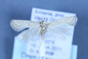 (Metanarsia modesta - TLMF Lep 25633)  @11 [ ] CreativeCommons - Attribution Non-Commercial Share-Alike (2018) Peter Huemer Tiroler Landesmuseum