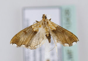 (Agrotera nemoralis - TLMF Lep 10436)  @14 [ ] CreativeCommons - Attribution Non-Commercial Share-Alike (2013) Peter Huemer Tiroler Landesmuseum Ferdinandeum