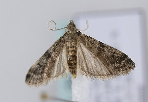 (Ephestia parasitella - TLMF Lep 12228)  @14 [ ] CreativeCommons - Attribution Non-Commercial Share-Alike (2013) Peter Huemer Tiroler Landesmuseum Ferdinandeum