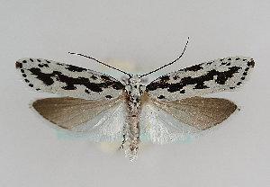 (Ethmia pusiella - TLMF Lep 14395)  @14 [ ] CreativeCommons - Attribution Non-Commercial Share-Alike (2014) Peter Huemer Tiroler Landesmuseum Ferdinandeum