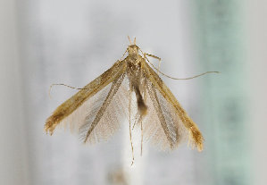 (Caloptilia fribergensis - TLMF Lep 15168)  @13 [ ] CreativeCommons - Attribution Non-Commercial Share-Alike (2014) Peter Huemer Tiroler Landesmuseum Ferdinandeum