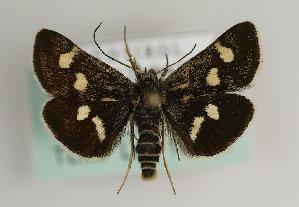(Eurrhypis pollinalis - TLMF Lep 15774)  @14 [ ] CreativeCommons - Attribution Non-Commercial Share-Alike (2014) Peter Huemer Tiroler Landesmuseum Ferdinandeum