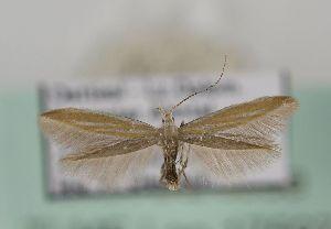 (Coleophora ericarnella - TLMF Lep 17597)  @14 [ ] CreativeCommons - Attribution Non-Commercial Share-Alike (2015) Peter Huemer Tiroler Landesmuseum Ferdinandeum