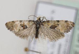 (Cochylis pallidana - TLMF Lep 18309)  @14 [ ] CreativeCommons - Attribution Non-Commercial Share-Alike (2015) Peter Huemer Tiroler Landesmuseum Ferdinandeum