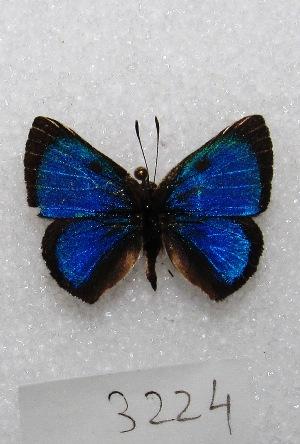 "(Ignata - MACN-Bar-Lep-ct 03224)  @14 [ ] Copyright (2014) MACN Museo Argentino de Ciencias Naturales ""Bernardino Rivadavia"""