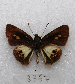 "(Pheraeus - MACN-Bar-Lep-ct 03367)  @13 [ ] Copyright (2014) MACN Museo Argentino de Ciencias Naturales ""Bernardino Rivadavia"""