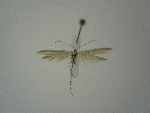"(Coleophora solenella tariata - BC KS 00356)  @12 [ ] Unspecified (default): All Rights Reserved (2012) Andreas K. Stuebner Andreas ""K."" Stuebner Research Collection"