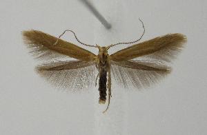 (Coleophora lithargyrinella - BC KS 00006)  @14 [ ] CreativeCommons - Attribution Non-Commercial (2010) Matthias Nuss Senckenberg Museum of Zoology, Dresden