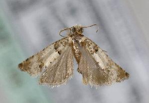 (Epinotia thapsiana - TLMF Lep 16933)  @14 [ ] CreativeCommons - Attribution Non-Commercial Share-Alike (2015) Peter Huemer Tiroler Landesmuseum Ferdinandeum