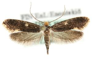 (Monopis weaverella - MM04158)  @15 [ ] CreativeCommons - Attribution Non-Commercial Share-Alike (2010) CBG Photography Group Centre for Biodiversity Genomics
