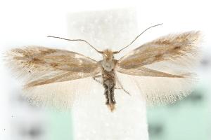 (Bucculatrix artemisiella - MM03944)  @14 [ ] CreativeCommons - Attribution Non-Commercial Share-Alike (2010) CBG Photography Group Centre for Biodiversity Genomics