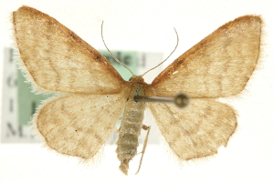 (Idaea humiliata - MM06789)  @15 [ ] CreativeCommons - Attribution Non-Commercial Share-Alike (2010) CBG Photography Group Centre for Biodiversity Genomics