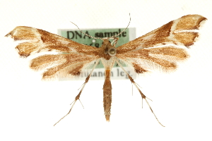 (Cnaemidophorus rhododactyla - MM06842)  @14 [ ] CreativeCommons - Attribution Non-Commercial Share-Alike (2010) CBG Photography Group Centre for Biodiversity Genomics