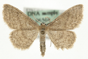 (Idaea sylvestraria - MM06568)  @14 [ ] CreativeCommons - Attribution Non-Commercial Share-Alike (2010) CBG Photography Group Centre for Biodiversity Genomics