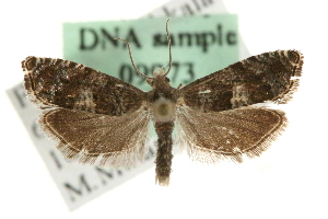 (Epinotia nemorivaga - MM09973)  @14 [ ] CreativeCommons - Attribution Non-Commercial Share-Alike (2010) CBG Photography Group Centre for Biodiversity Genomics