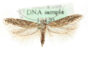 (Gnorimoschema nordlandicolella - MM10420)  @14 [ ] CreativeCommons - Attribution Non-Commercial Share-Alike (2010) CBG Photography Group Centre for Biodiversity Genomics