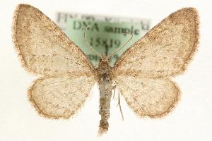 (Eupithecia cauchiata - MM15819)  @14 [ ] CreativeCommons - Attribution Non-Commercial Share-Alike (2010) CBG Photography Group Centre for Biodiversity Genomics
