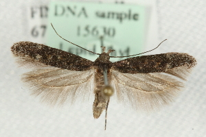 (Gnorimoschema valesiella - MM15630)  @14 [ ] CreativeCommons - Attribution Non-Commercial Share-Alike (2010) CBG Photography Group Centre for Biodiversity Genomics