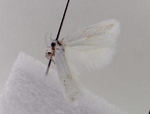 (Elachista maculata - MM05574)  @11 [ ] No Rights Reserved (2010) Marko Mutanen University of Oulu
