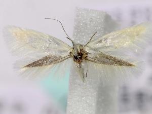 (Elachista vulcana - MM16814)  @13 [ ] Unspecified (default): All Rights Reserved  Unspecified Unspecified