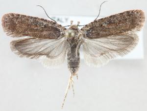 (Agonopterix pseudoferulae - MM24152)  @15 [ ] CreativeCommons - Attribution Non-Commercial (2015) Marko Mutanen University of Oulu
