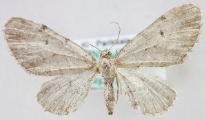 (Eupithecia expallidata - MM24349)  @14 [ ] CreativeCommons - Attribution Non-Commercial (2015) Marko Mutanen University of Oulu