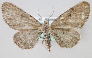 (Eupithecia absinthiata - MM24350)  @15 [ ] CreativeCommons - Attribution Non-Commercial (2015) Marko Mutanen University of Oulu