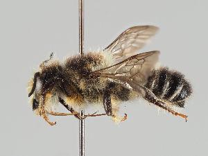 (Megachile bombycina - MZH_GP.21029)  @11 [ ] by-nc (2018) Marko Mutanen University of Oulu