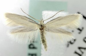 (Elachista festucicolella - MM16825)  @14 [ ] Unspecified (default): All Rights Reserved  Unspecified Unspecified