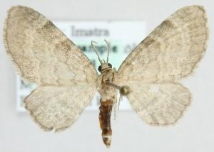 (Eupithecia immundata - MM01753)  @13 [ ] CreativeCommons - Attribution Non-Commercial (2012) Marko Mutanen University of Oulu