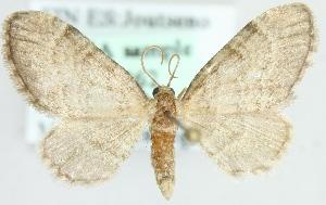 (Eupithecia immundata - MM09862)  @13 [ ] CreativeCommons - Attribution Non-Commercial (2012) Marko Mutanen University of Oulu