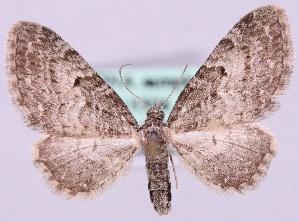 (Eupithecia lariciata - MM18504)  @15 [ ] No Rights Reserved (2011) Marko Mutanen University of Oulu