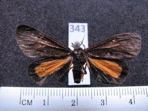 (Virbia divisa sp. MMZ02 - MMZ0279)  @13 [ ] Copyright (2010) Mauricio M. Zenker Universidade Federal do Parana