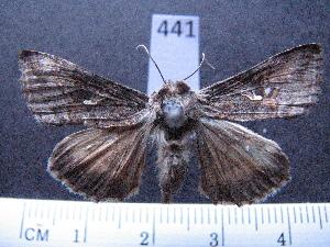 (Trichoplusia nu - MMZ0373)  @13 [ ] Copyright (2010) Mauricio M. Zenker Universidade Federal do Parana