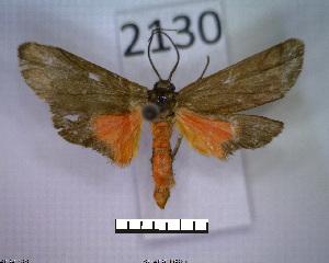 (Metalobosia varda - MMZ1279)  @13 [ ] CreativeCommons - Attribution Non-Commercial (2012) Mauricio M. Zenker UFPR
