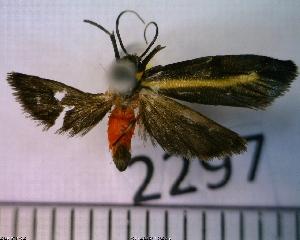 (Metalobosia diaxantha sp. MMZ02 - MMZ1324)  @12 [ ] CreativeCommons - Attribution Non-Commercial (2012) Mauricio M. Zenker UFPR