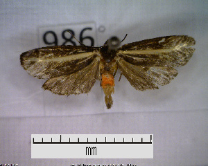 (Metalobosia diaxantha sp. MMZ01 - MMZ0888)  @13 [ ] CreativeCommons - Attribution Non-Commercial (2011) Mauricio M. Zenker UFPR