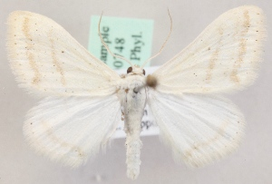 (Scopula arenosaria - KN00748)  @14 [ ] CreativeCommons - Attribution Non-Commercial (2014) Marko Mutanen University of Oulu
