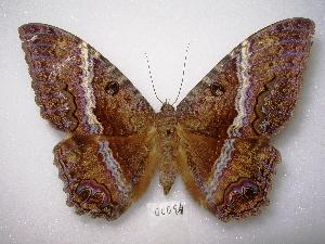 ( - MACN-Bar-Lep-ct 00094)  @14 [ ] Copyright (2011) MACN Museo Argentino de Ciencias Naturales