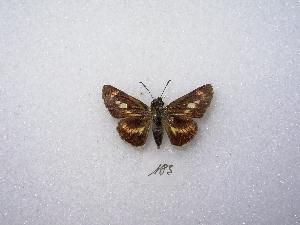 (Propertius - MACN-Bar-Lep-ct 00183)  @13 [ ] Copyright (2011) MACN Museo Argentino de Ciencias Naturales