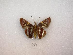 (Lycas - MACN-Bar-Lep-ct 00819)  @12 [ ] Copyright (2011) MACN Museo Argentino de Ciencias Naturales