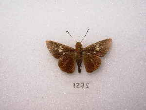 "(Evansiella - MACN-Bar-Lep-ct 01275)  @12 [ ] Copyright (2011) MACN Museo Argentino de Ciencias Naturales ""Bernardino Rivadavia"""