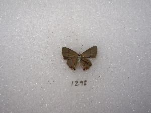 "( - MACN-Bar-Lep-ct 01298)  @12 [ ] Copyright (2011) MACN Museo Argentino de Ciencias Naturales ""Bernardino Rivadavia"""