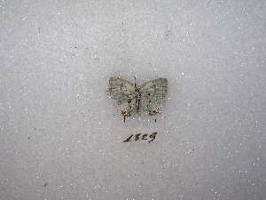 "(Nesiostrymon - MACN-Bar-Lep-ct 01329)  @12 [ ] Copyright (2011) MACN Museo Argentino de Ciencias Naturales ""Bernardino Rivadavia"""